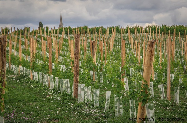 Grapevines at Saussignac, France