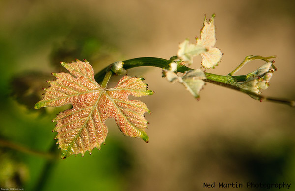 Early leaves on Grapevine, Saussignac, France
