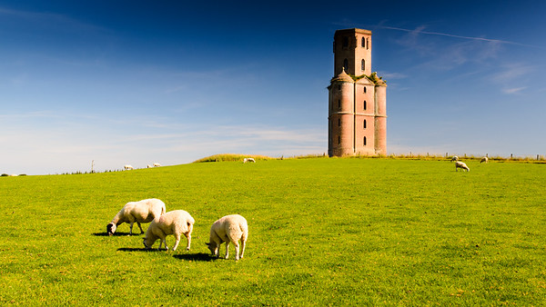 Sheep grazing at Horton Tower, Dorset