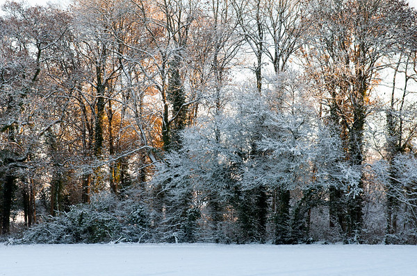 Snow-covered woodland trees