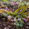 Snowdrops, cyclmens and ferns at Kingston Lacy