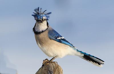 geai bleue couetté