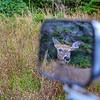 femelle-chevreuil-miroir