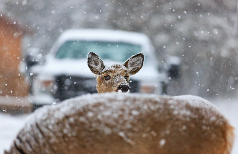 tête-chevreuil-neige-camion