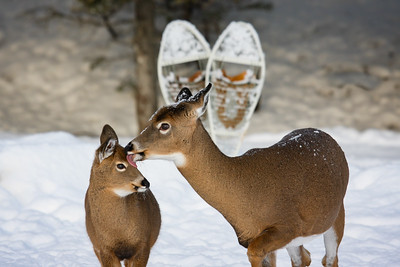 #love#fawn#snowshoes#anticosti#snow#chevreuil#whiteatildeer