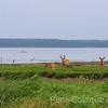 Grands hérons et cerfs, baie Ellis, Port-Menier