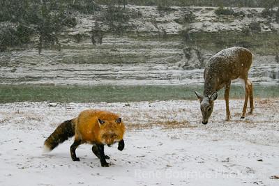 #foxanddeer#anticosti
