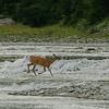 Chevreuil dans la rivière Patate, Anticosti