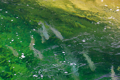 saumons- rivière Jupiter-anticosti