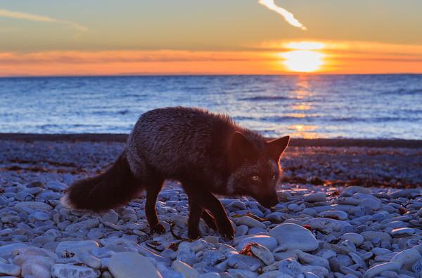 renard argente-coucher-soleil-anticosti
