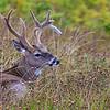 Buck en velours au début septembre, Port-Menier