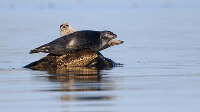 Phoques ou loups marins sur des rochers, à marée basse, Port-Menier, Anticosti