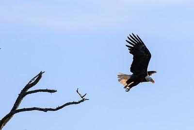 L'envol d'un aigle à tête blanche