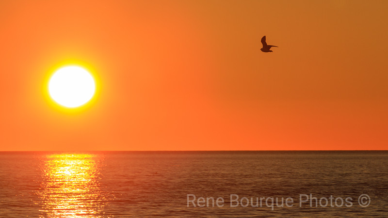 Seagull flying at sunset. October 2nd