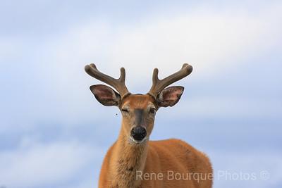 buck, mâle  chevreuil, anticosti, René Bourque