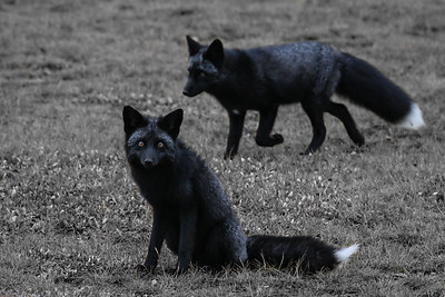 renard-noir-anticosti