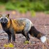 gros-renard-croise-anticosti
