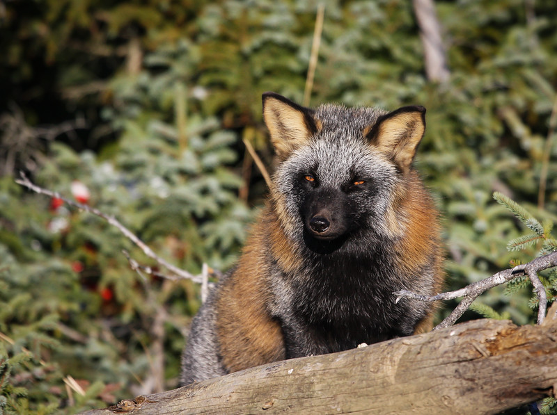renard-croise-anticosti