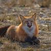 grimace-renard-roux-anticosti