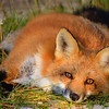 renard-roux-couche-anticosti
