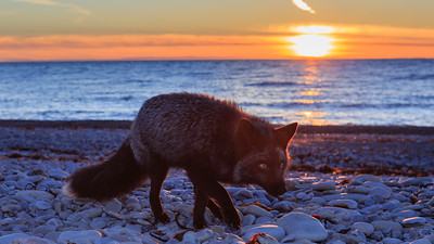 An Anticosti silver fox searching for food along the beach on October 28th