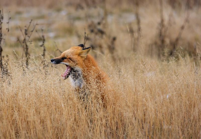renard-dents-grimace-anticosti