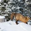 renard-pose-neige