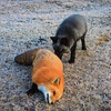 renard-roux-argente-croise-anticosi