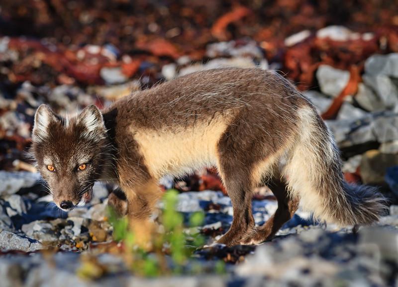 renard arctique-anticosti