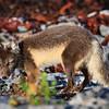 Il sera plus facile de confirmer l'hypothèse du renard artique en novembre avec sa fourrure hivernale.