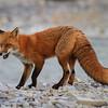 renard roux-anticosti