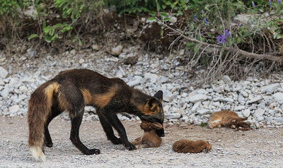 #fox#rabbit#anticostifox#renard#lievre