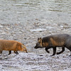 renard-roux-croise-anticosti