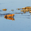renard-roux-eau-reflet-anticosti