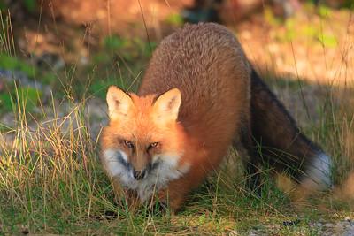 renard-roux-anticosti