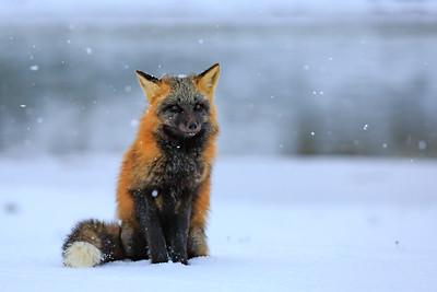 A crossed fox of Anticosti . This one has very dark eyes.