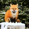 renard-roux-buche-neige-anticosti