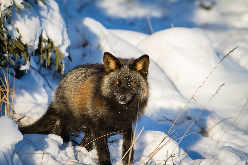 renard-croise-noir-anticosti