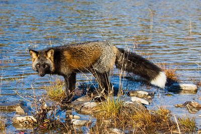 renard-rivière-jupiter-anticosti