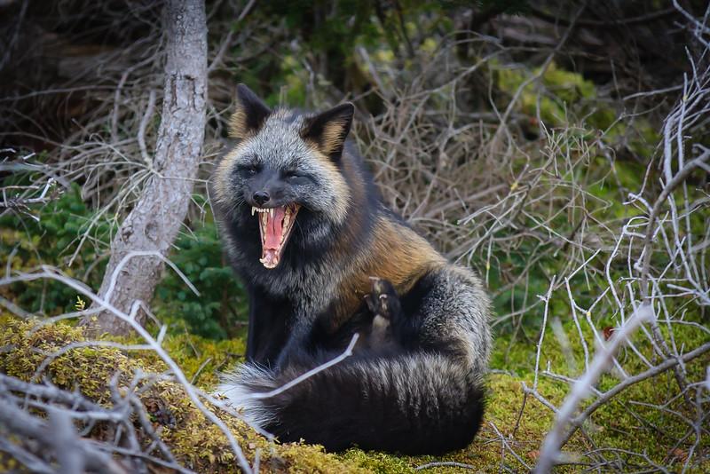 renard-croise-dents-anticosti