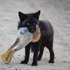 renard noir-proie-lievre-anticosti