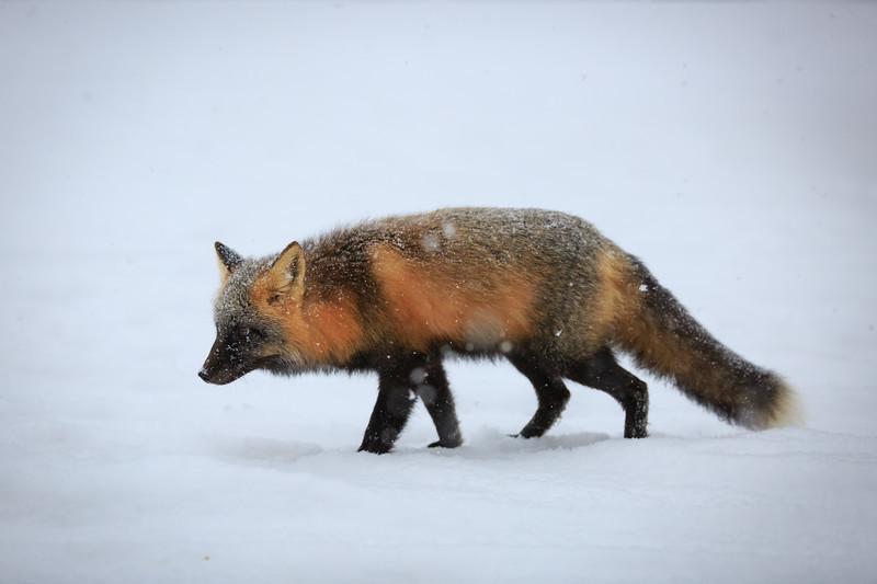 renard-croise-neige
