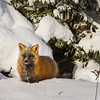 renards-neige-anticosti