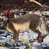 renard-arctique-anticosti