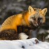 renard-croise-neige-anticosti
