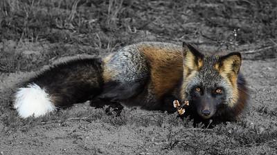 renard-croise-couche-anticosti