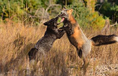 combat-renard-anticosti
