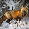 renard-hiver-anticosti