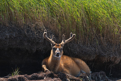 Un buck qui cherche de la fraicheur.