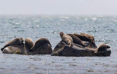 Phoques prenant un bain de soleil au large de Port-Menier, Anticosti